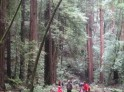 How tall the redwoods?