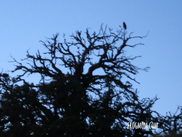The Stars of Harry Potter Hike - Great Horned Owl