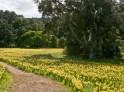 DaffodilField_RachelPerry3MB-RP5609-1