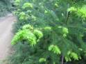 Douglas fir tips