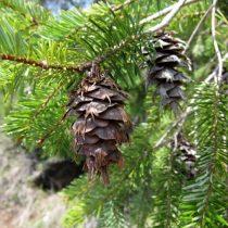 Douglas fir pine cone