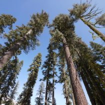 Pine trees and firs