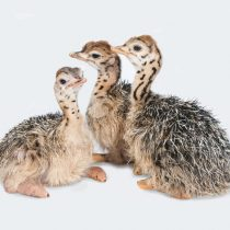 Ostrich chicks. Photo California Academy of Sciences