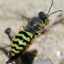 Burrowing wasp. Source BugGuide.com