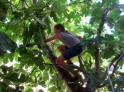 Plucking figs off the tree