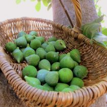 Unripe green figs freshly picked off the tree by my girls