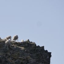 Sheep on the summit