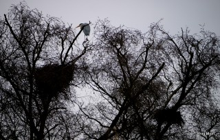 Nesting grey heron on top of a tree at St Albans' Verulamium Park