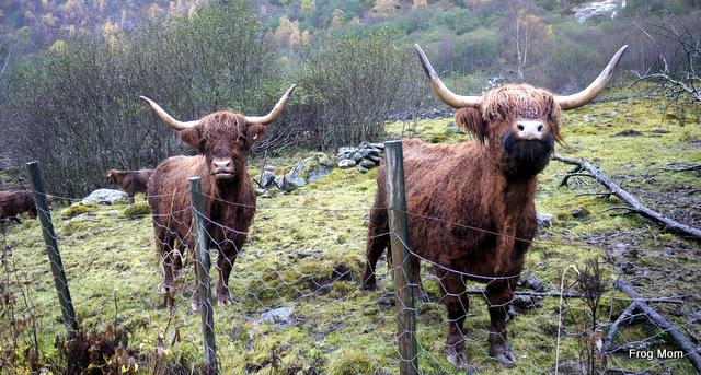 Highland cattle in norwegian hils