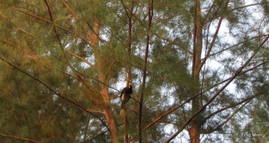 Hornbill in the trees at Koh Phra Thong