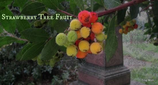 IMG_1667 Strawberry tree fruit