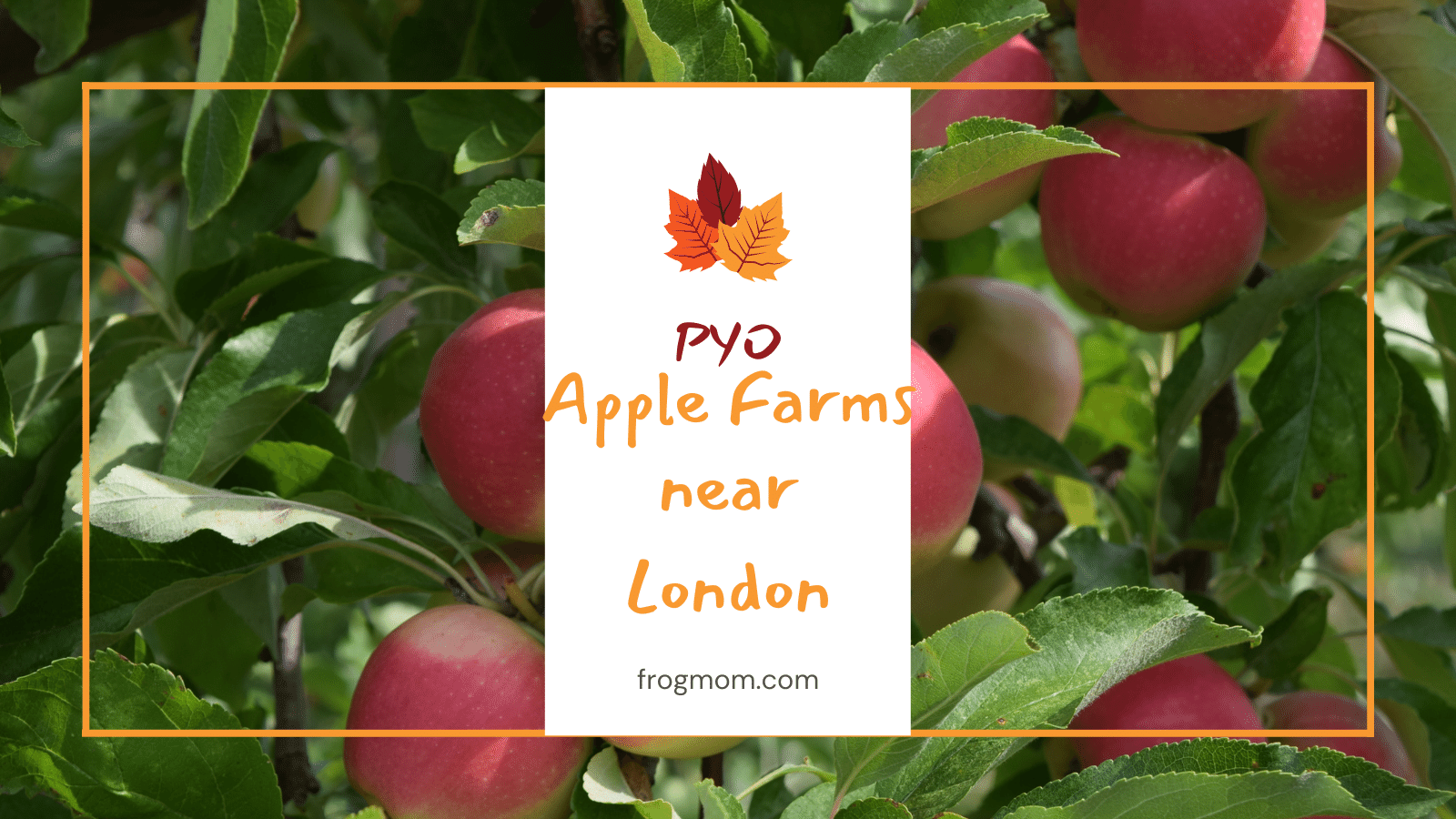 Pick Your Own Apple Farms near London - Feature image with apples on an apple tree