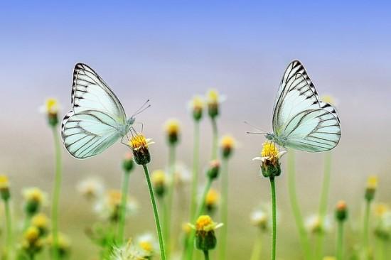 blue-butterfles-on-meadow-flowers