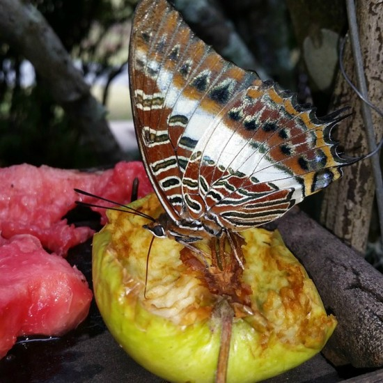 butterfly-feeding-on-fruit