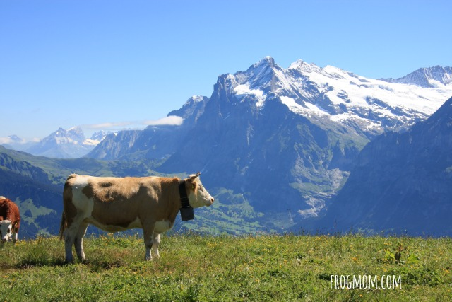 Jungfrau-Aletsch World Heritage Site - Cows