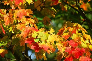 The Sugar Science of Autumn Leaves