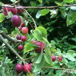 Wild Plum and Almond Jam Recipe