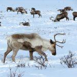 Outdoors Advent Calendar #8: Reindeer & Reindeer Myths