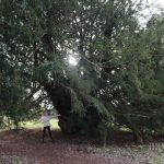 Hiking with Teens: Ankerwycke Tree & Runnymede Walk