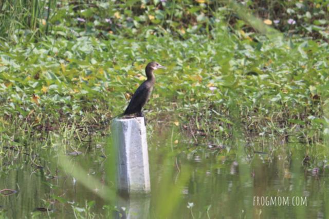 Bang Krachao - Cormorant