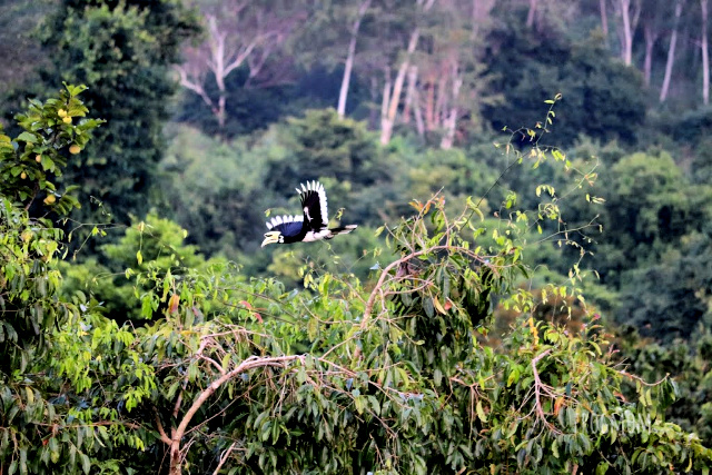 Hornbill flying over trees, Kui Buri National Park, Thailand