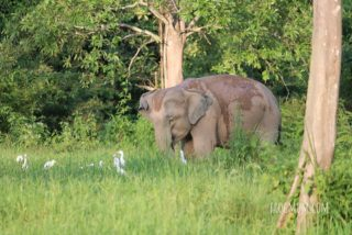Egrets and wild elephant, Kui Buri National Park, Thailand
