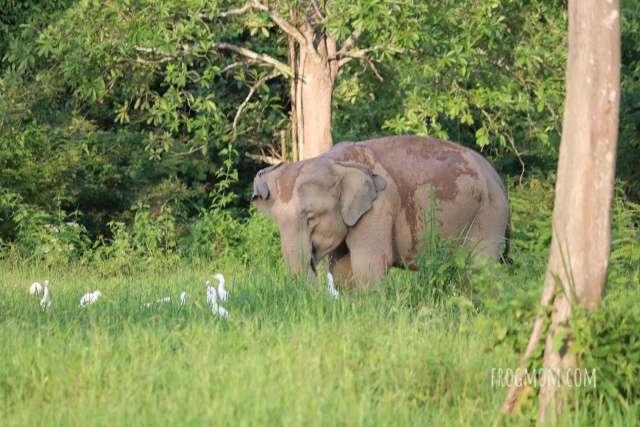 Egrets and wild elephant, Kui Buri National Park, Thailand