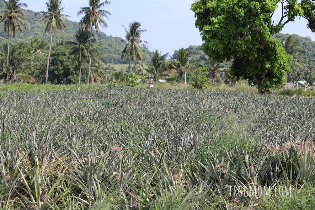 Pineapple fields, Pran Buri Province, Thailand