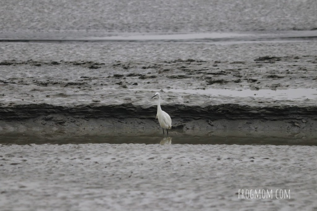 Egret on the sand, Mont St Michel