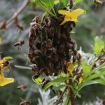 How I Helped Rescue a Swarm of Wild Honey Bees
