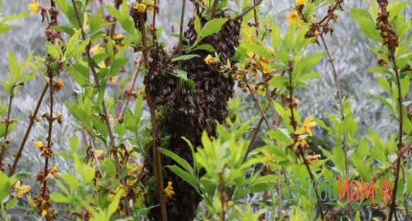 Swarm of wild bees in bush