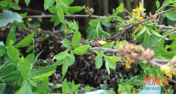Swarm of wild bees getting into beehive
