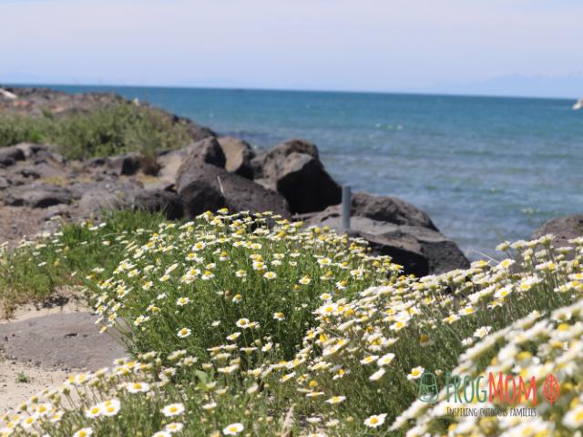 Seaside daisies - Cap d'Agde