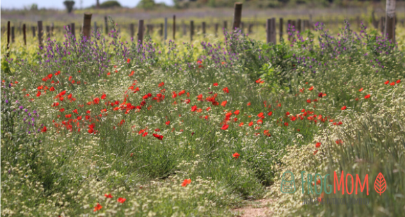 Vineyards in Occitanie