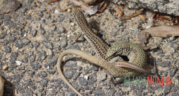 Two lizards