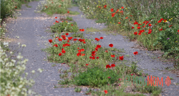 Wildflowers in Occitanie - poppies