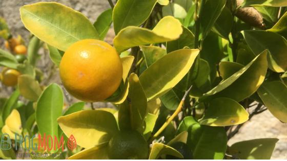 Bitter tangerines on tree