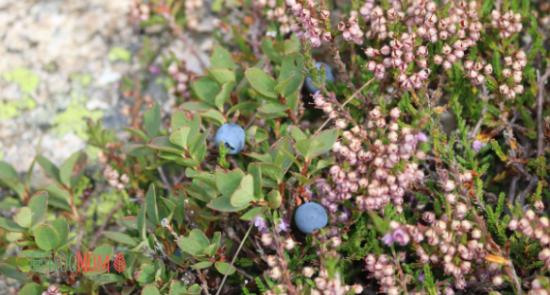 Wild blueberries, Pyrenees