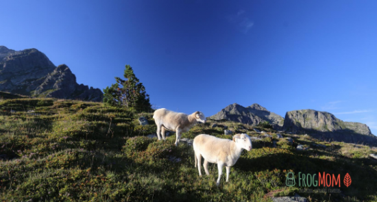 Pet sheep at Refuge du Rulhe