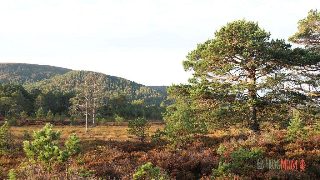 Rothiemurchus Estate - Scots pines