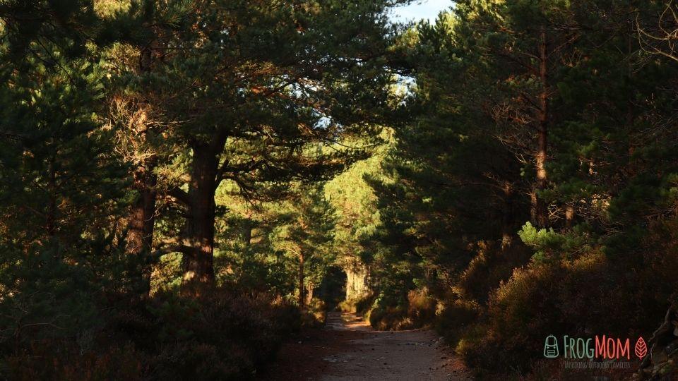 Rothiemurchus Estate - Sun on Scots pines
