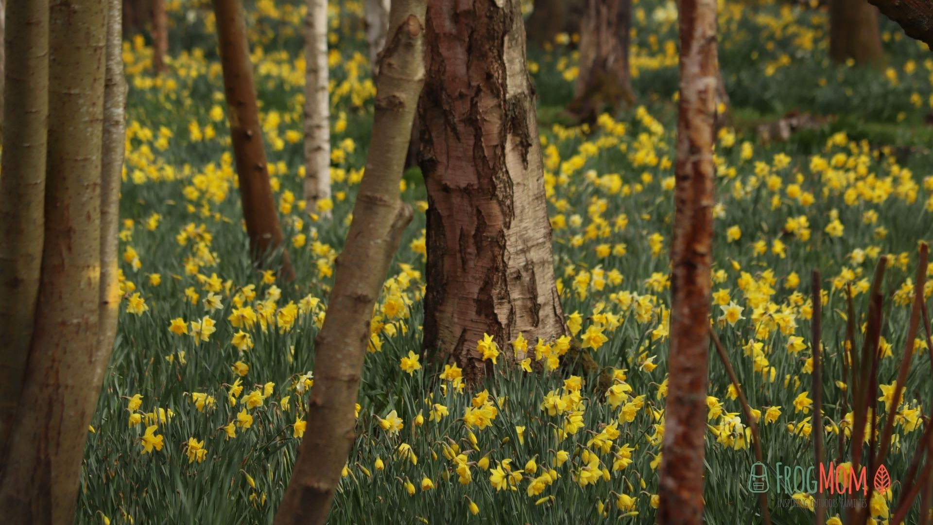 Daffodils at Bushy Park