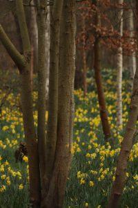 Daffodil woodland at Bushy Park